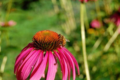 Beepurpoleconeflower