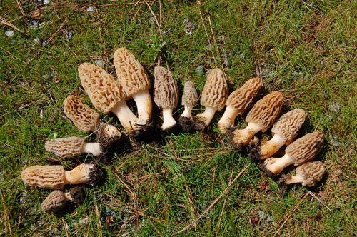 Edible Wild Mushrooms In Wisconsin http://www.yearofplenty.org/mushrooms/